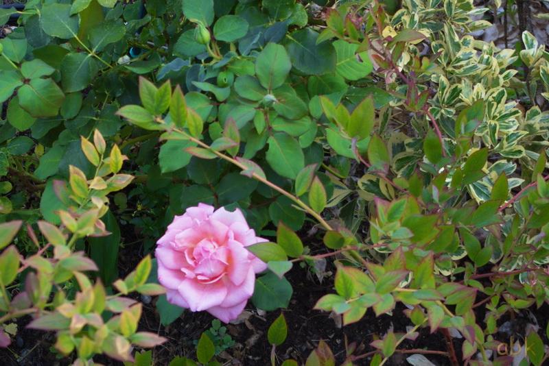 Fleurs Rose_111
