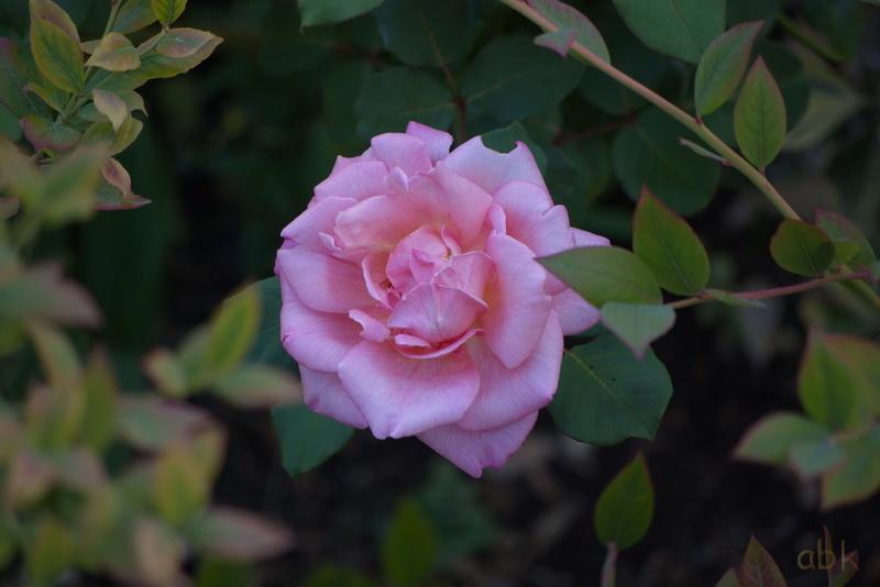 Fleurs Rose_211