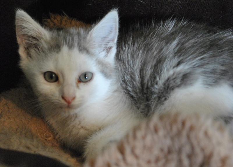 Kory (ex Olaf) né en juin 2017, chaton gris et blanc Dsc_0033