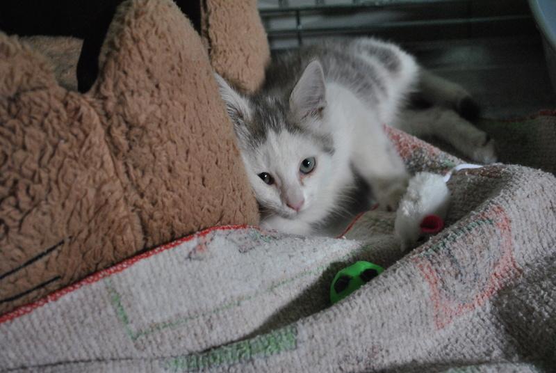 Kory (ex Olaf) né en juin 2017, chaton gris et blanc Dsc_0034