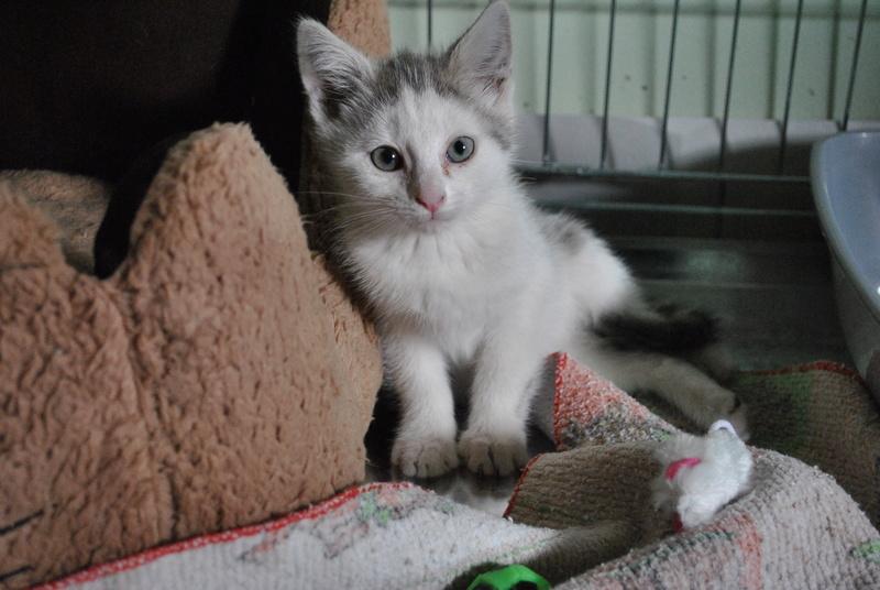 Kory (ex Olaf) né en juin 2017, chaton gris et blanc Dsc_0035