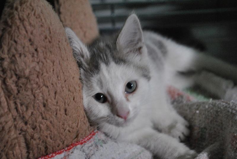 Kory (ex Olaf) né en juin 2017, chaton gris et blanc Dsc_0036