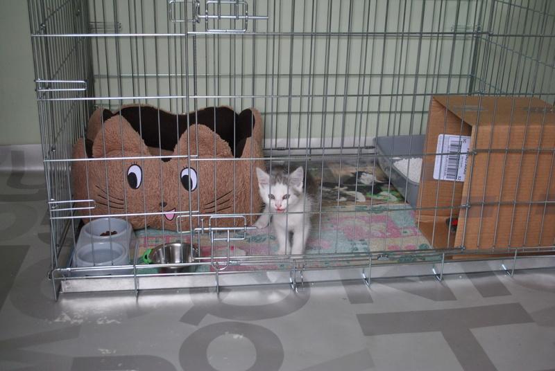 Kory (ex Olaf) né en juin 2017, chaton gris et blanc Dsc_0037