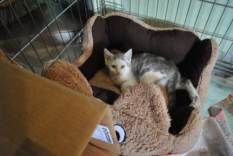 Kory (ex Olaf) né en juin 2017, chaton gris et blanc Dsc_0038