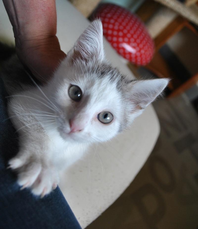Kory (ex Olaf) né en juin 2017, chaton gris et blanc Dsc_0041