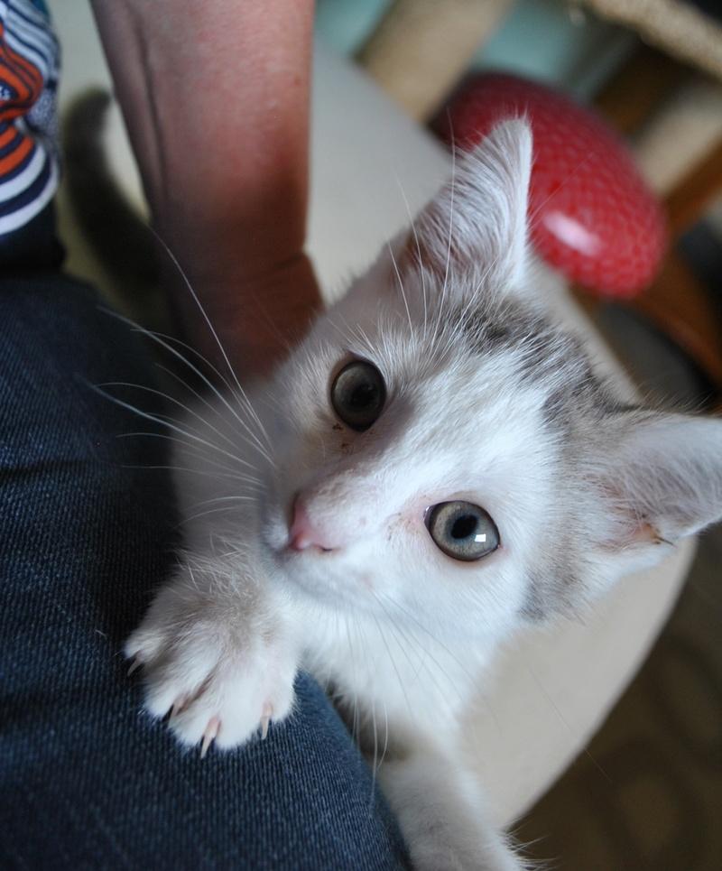 Kory (ex Olaf) né en juin 2017, chaton gris et blanc Dsc_0042