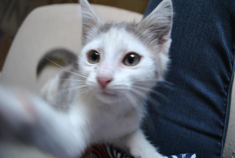 Kory (ex Olaf) né en juin 2017, chaton gris et blanc Dsc_0046