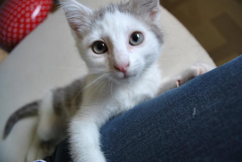 Kory (ex Olaf) né en juin 2017, chaton gris et blanc Dsc_0048