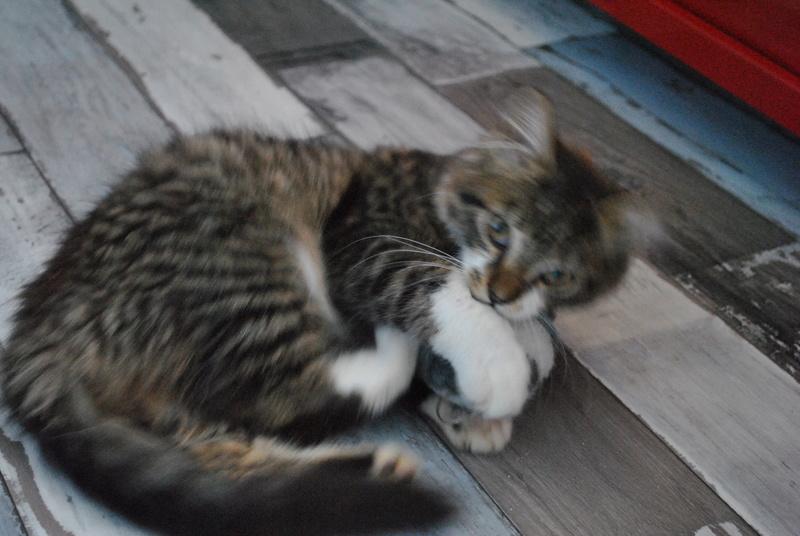 JAMES, rebaptisé TWIX, chaton né en juin 2017 Dsc_0056