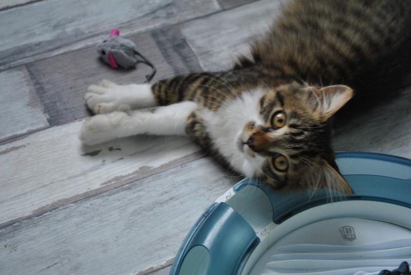 JAMES, rebaptisé TWIX, chaton né en juin 2017 Dsc_0063