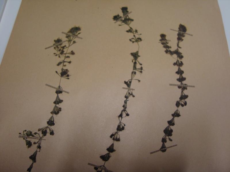 Herbier d'Aldrovanda vesiculosa 11janv15