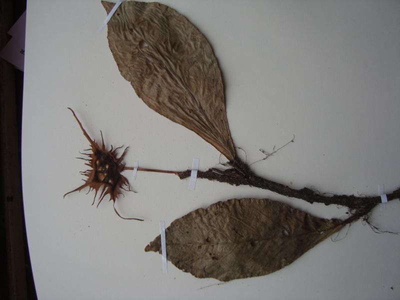 Dorstenia brésiliens et africains en herbier Dsc03910