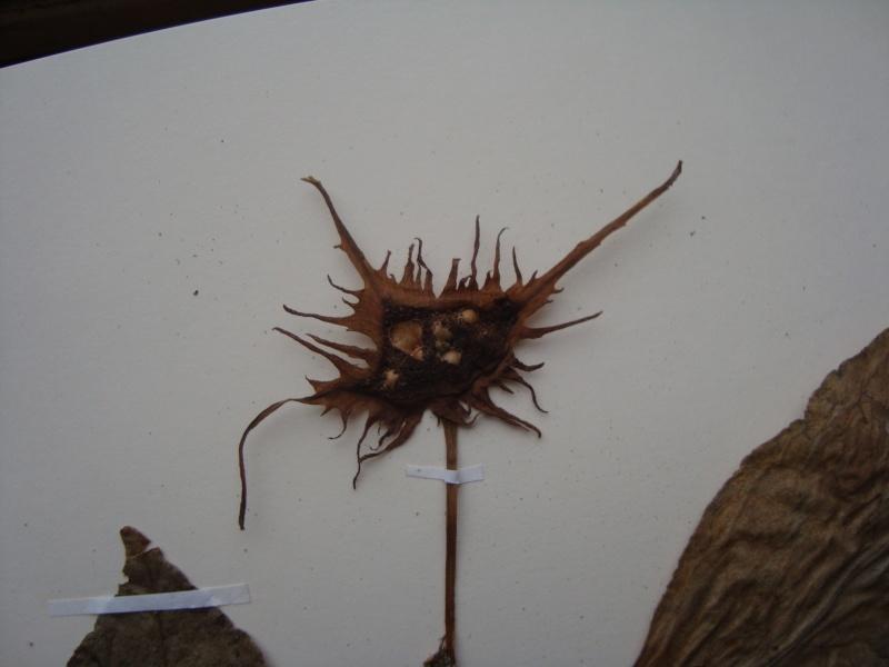 Dorstenia brésiliens et africains en herbier Dsc03911