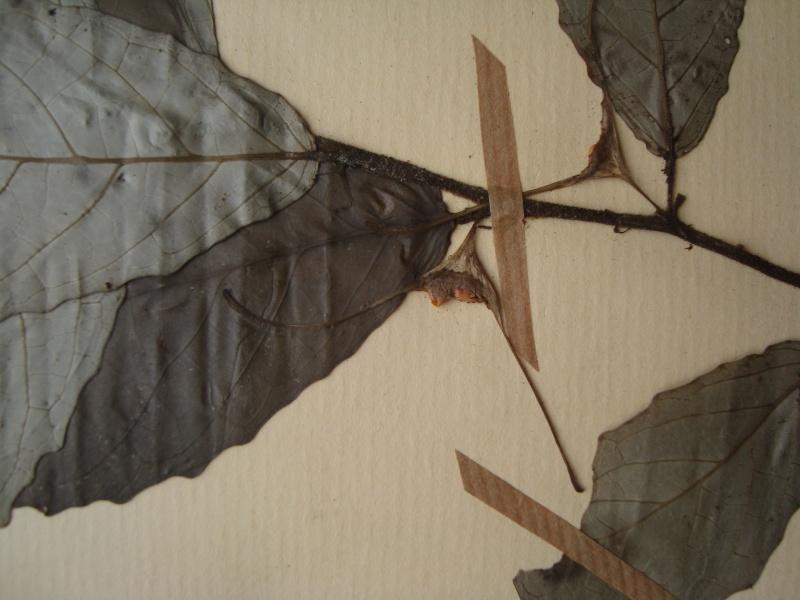 Dorstenia brésiliens et africains en herbier Dsc03912