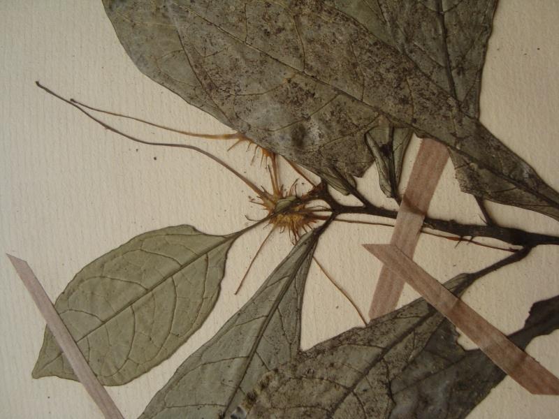 Dorstenia brésiliens et africains en herbier Dsc03916