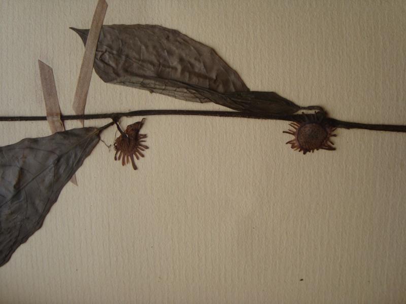 Dorstenia brésiliens et africains en herbier Dsc03918