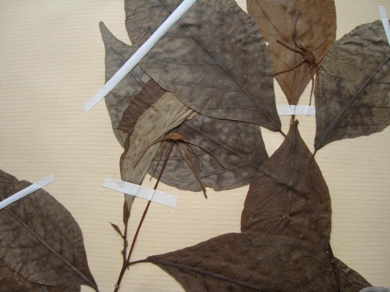 Dorstenia brésiliens et africains en herbier Dsc03919