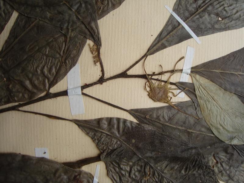 Dorstenia brésiliens et africains en herbier Dsc03922