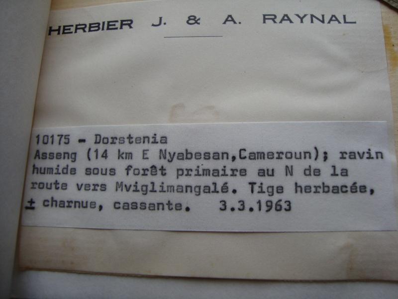 Dorstenia brésiliens et africains en herbier Dsc03923