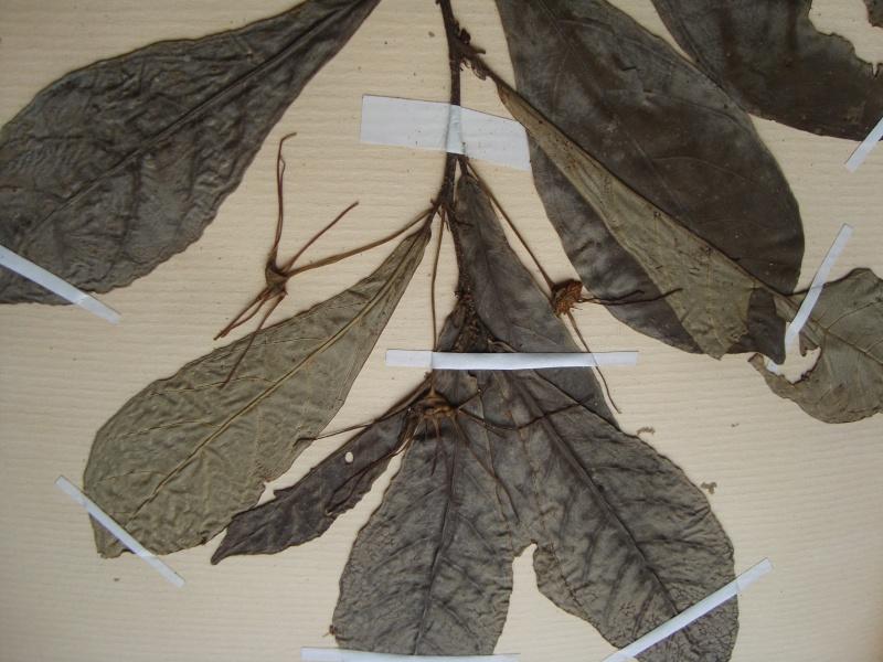 Dorstenia brésiliens et africains en herbier Dsc03924