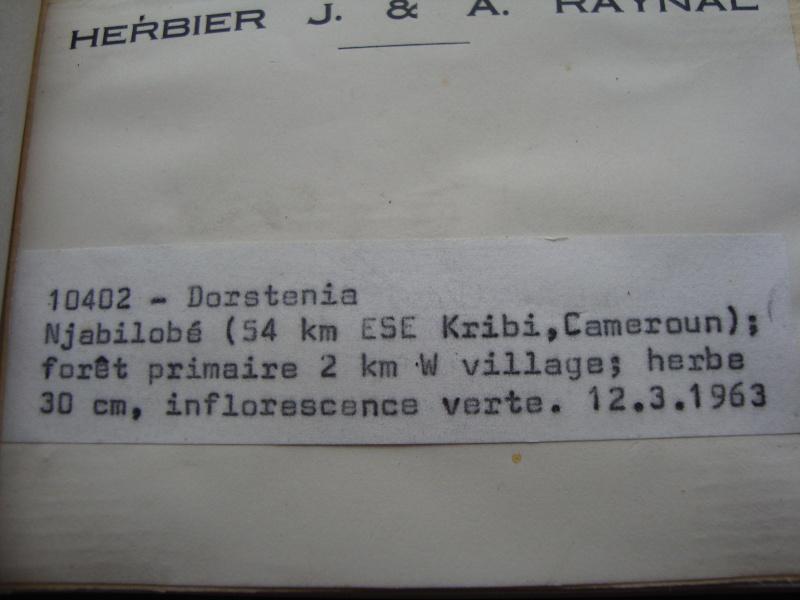 Dorstenia brésiliens et africains en herbier Dsc03925