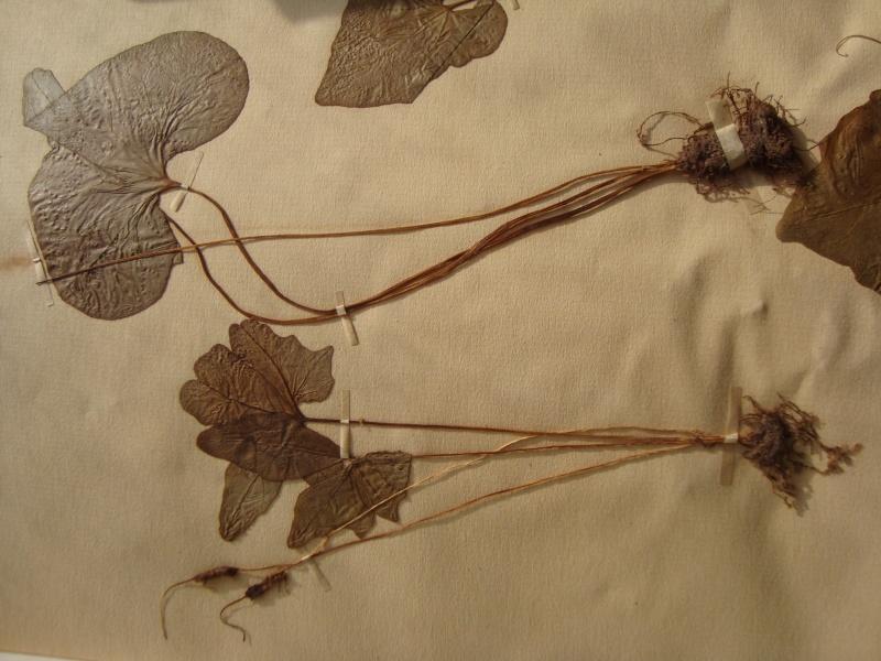 Dorstenia brésiliens et africains en herbier Herbie16