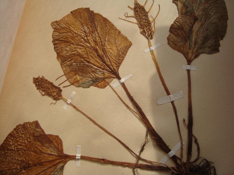 Dorstenia brésiliens et africains en herbier Herbie18