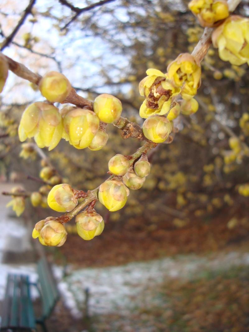 Floraisons hivernale Herbie22