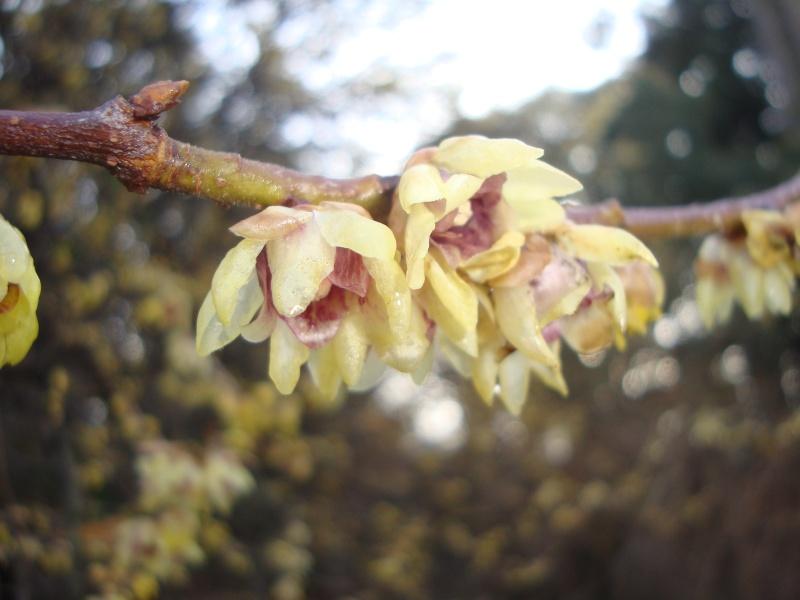 Floraisons hivernale Herbie27
