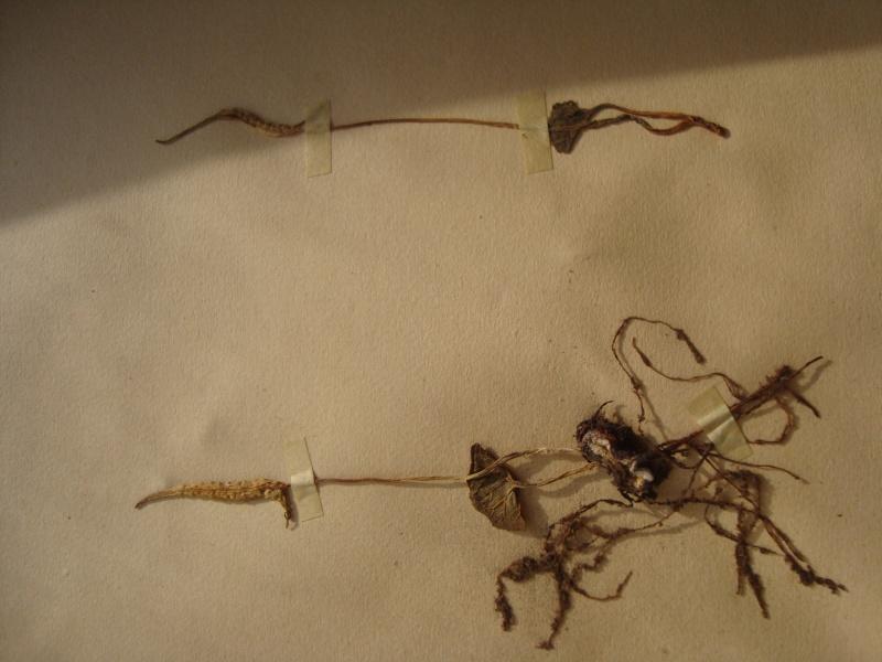 Dorstenia brésiliens et africains en herbier Herbie28