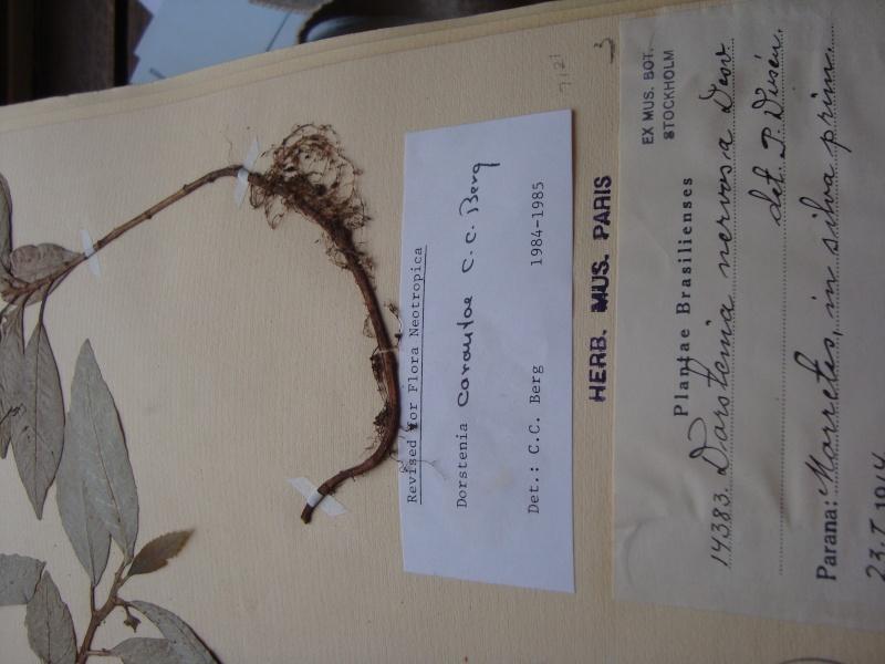 Dorstenia brésiliens et africains en herbier Mardi_16