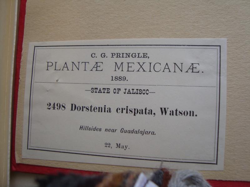 Dorstenia brésiliens et africains en herbier Mardi_36