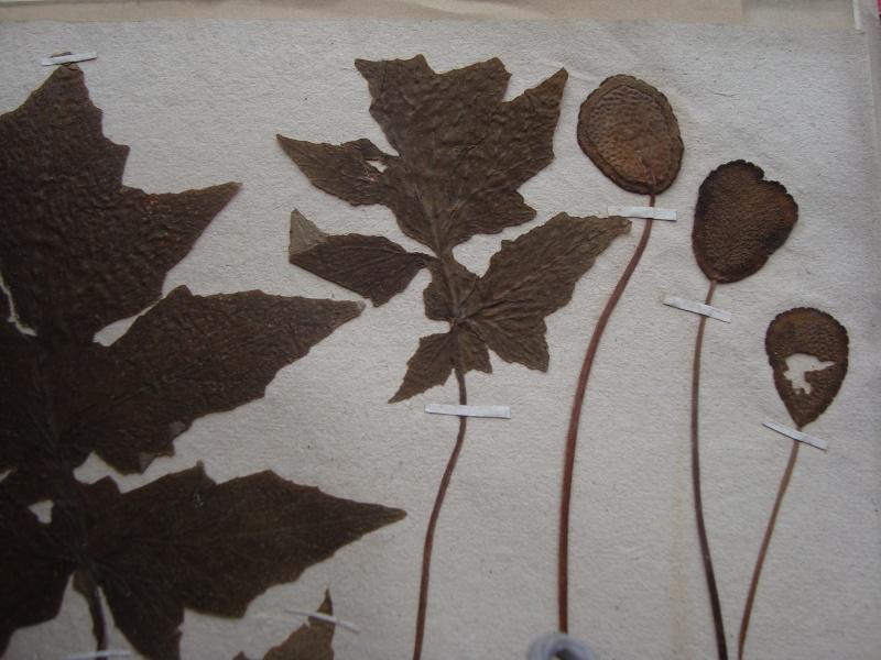 Dorstenia brésiliens et africains en herbier Mardi_37