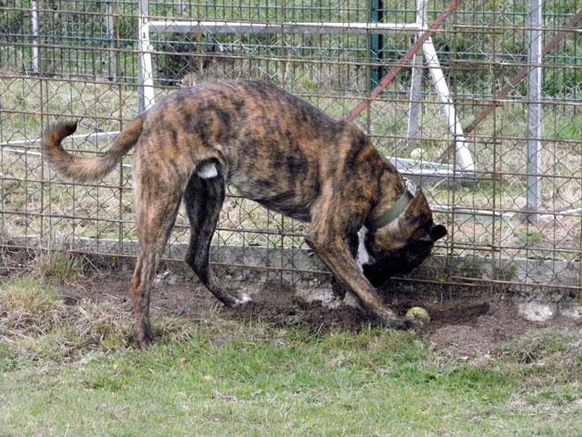 WEEDEN (Dogue Argentin croisé Malinois) Weeden12