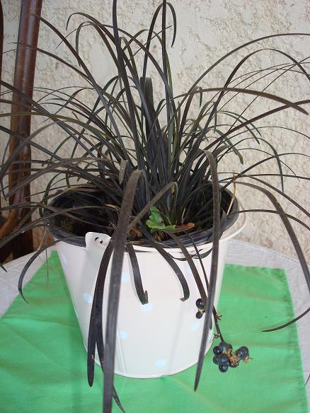 Ophiopogon planiscapus 'Nigrescens', Ophiopogon noir. 23-09-11