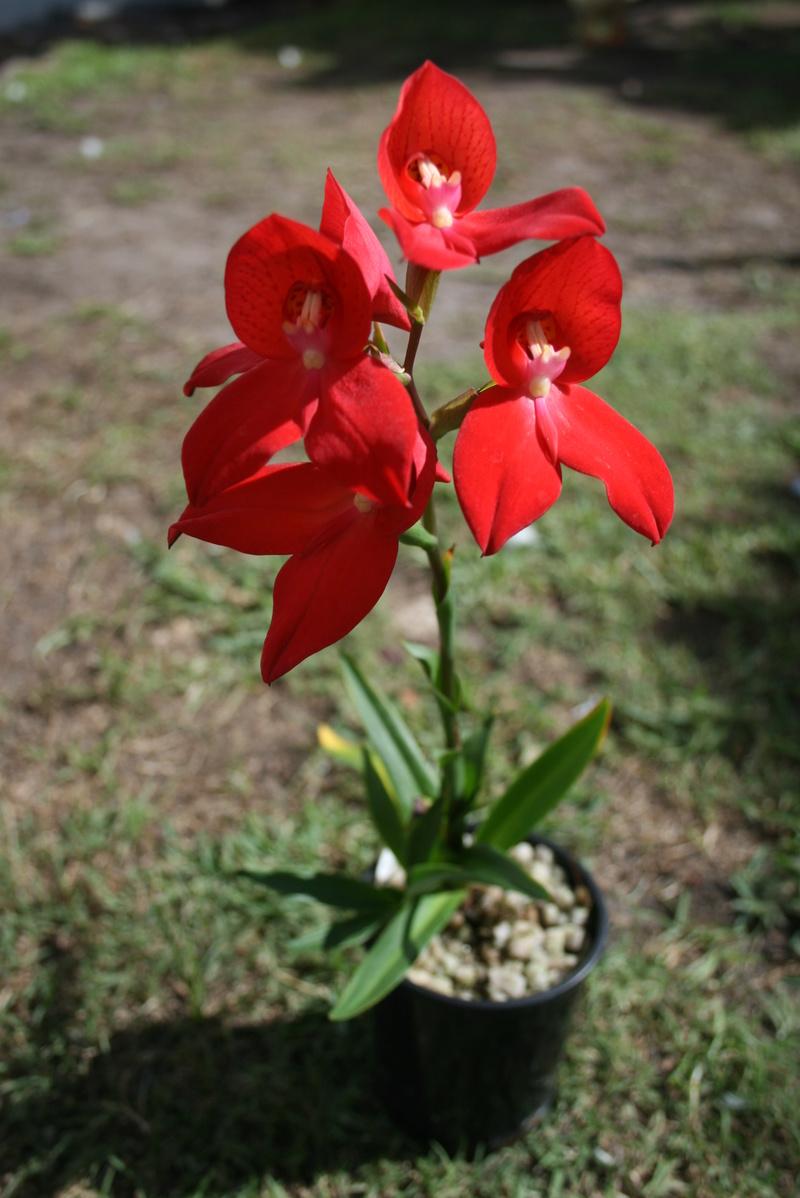 saison orchidophile 2015 01510