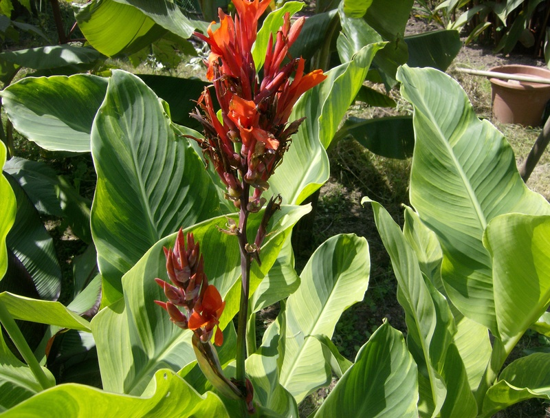 Canna 'Wolf Song' Hpim1650