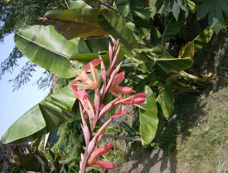 Canna bird of paradise Hpim1659