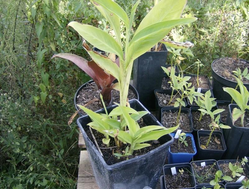 Musa griersonii Hpim1715