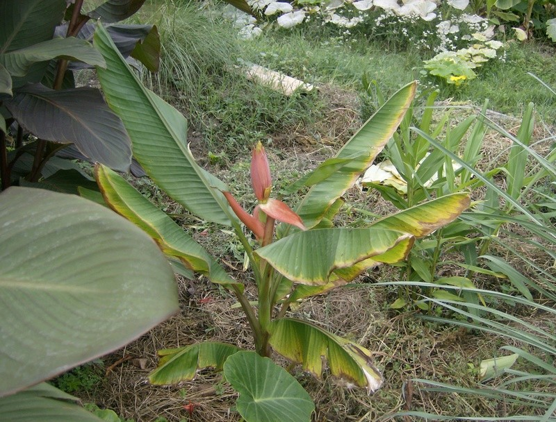 Musa laterita : floraison Hpim1746