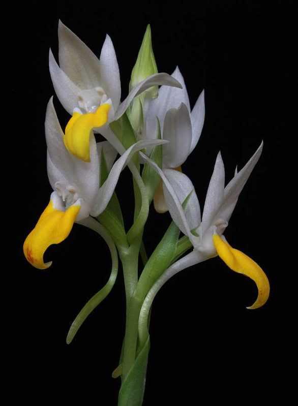 saison orchidophile 2015 Pectei10