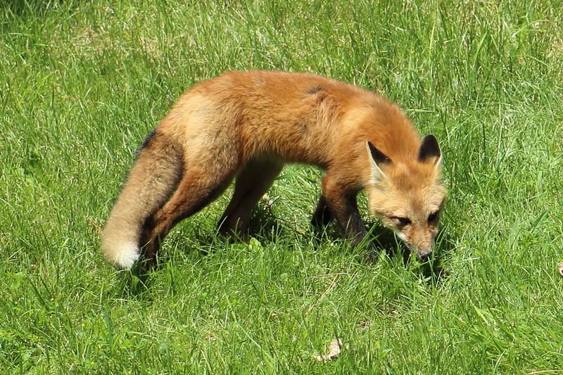 un renard roux Renard13