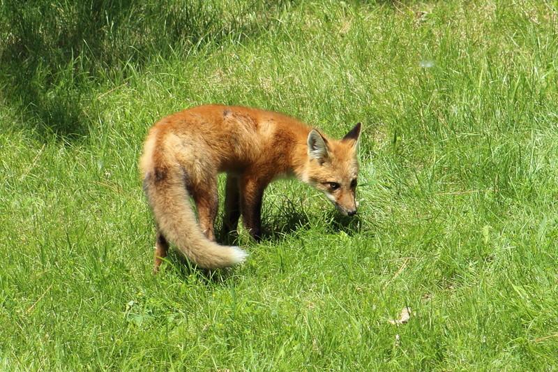 un renard roux Renard14