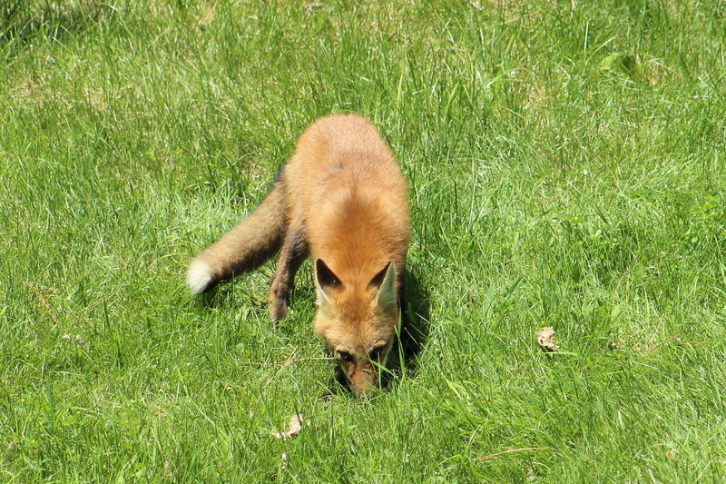 un renard roux Renard15