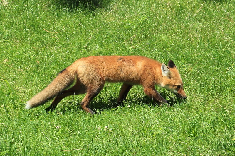 un renard roux Renard16