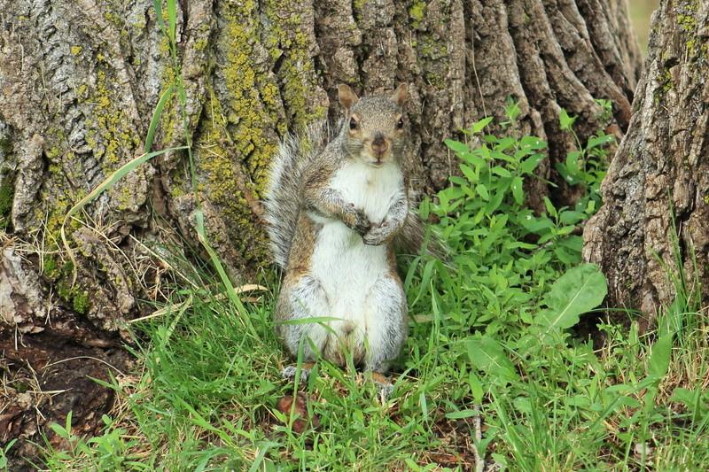 écureuil gris Ycureu10