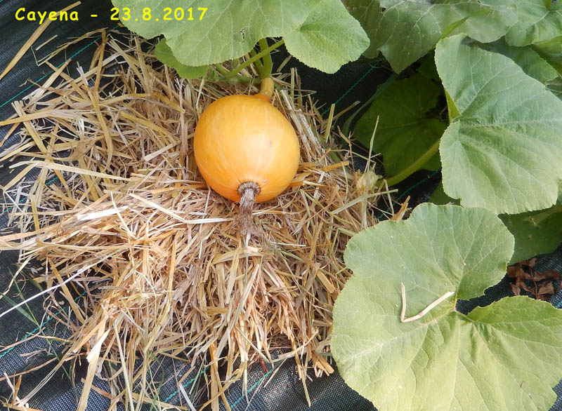 Ça pousse quand-même au jardin ! 2017-216