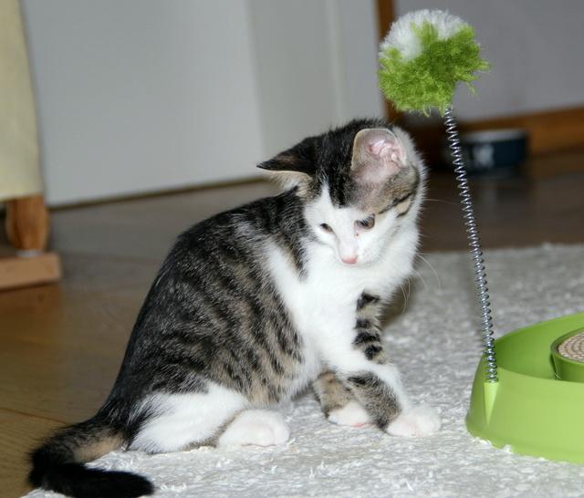 FELIX - Katzenbaby - SUCHT ein ZUHAUSE - geboren ca. 07.07.2017 - 11_sep10