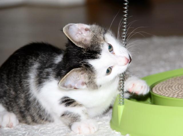 FELIX - Katzenbaby - SUCHT ein ZUHAUSE - geboren ca. 07.07.2017 - 11_sep11