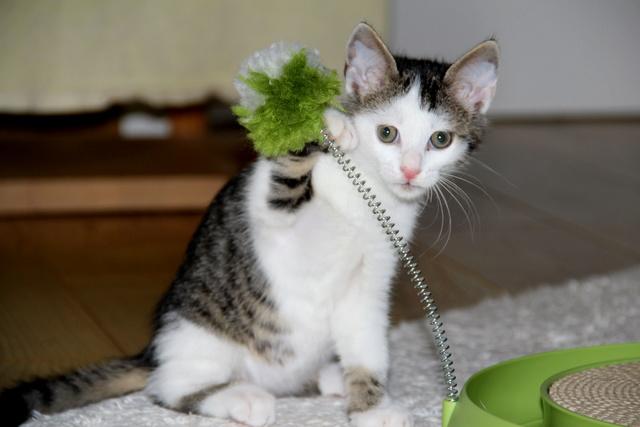 FELIX - Katzenbaby - SUCHT ein ZUHAUSE - geboren ca. 07.07.2017 - 11_sep12